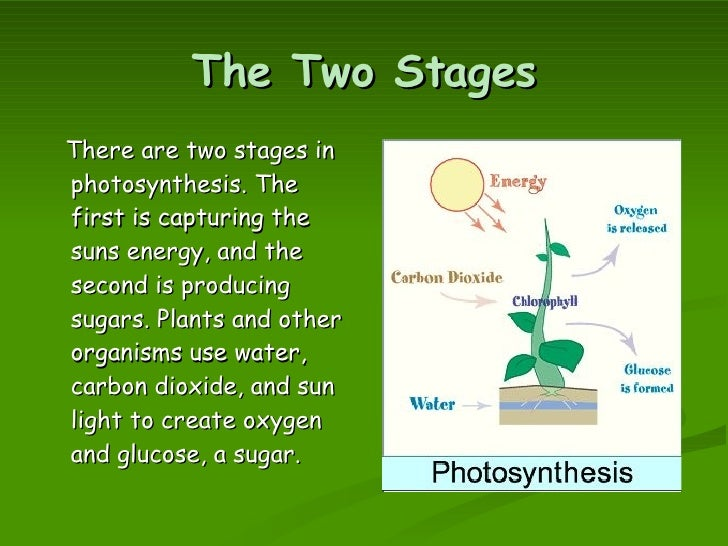 first stage of photosynthesis Remember that the purpose of this first part of photosynthesis is to convert sunlight energy into other forms of energy  and down the electron transport chain.