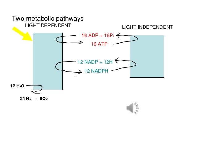 Two metabolic pathways         LIGHT DEPENDENT                    LIGHT INDEPENDENT                            16 ADP + 16...