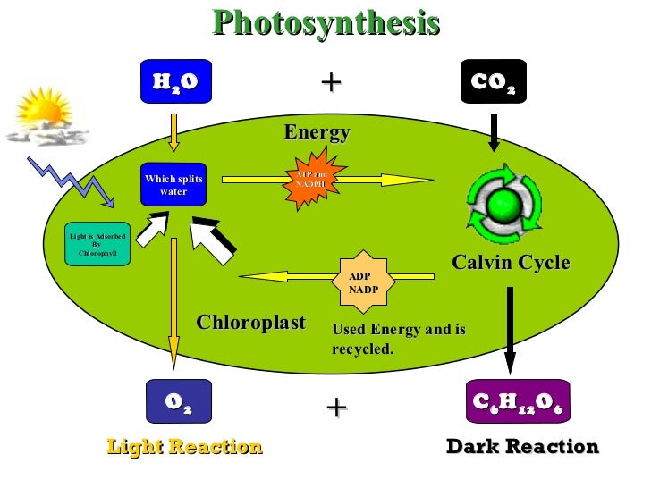 Chapter 6-7 - Photosynthesis and Cellular Respiration Flashcards Preview