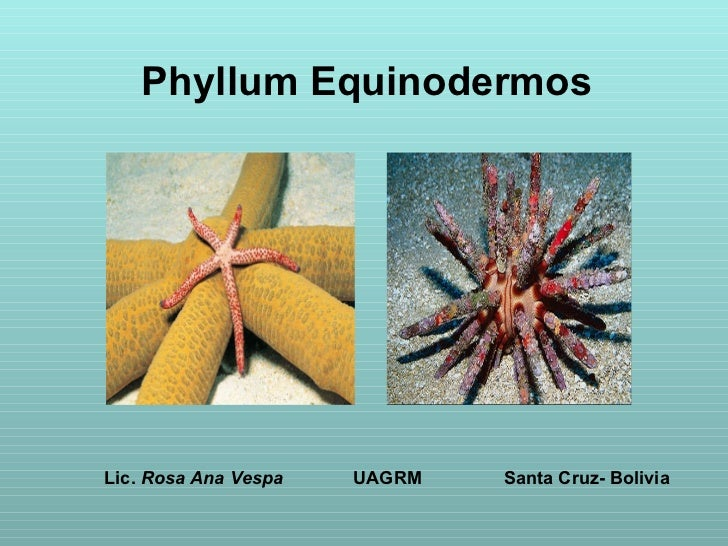 Phyllum equinodermos