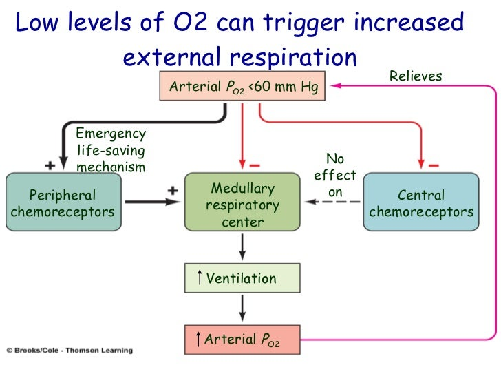 central chemoreceptors Central chemoreceptors: present in ventral surface of the medulla and midbrain, major role in respiratory alkalosis: for every 10 mmhg co2 there should be a drop of 2 meq of hco3 acutely or 4meq hco3 chronically although it is rare.