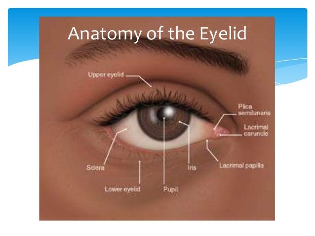 Anatomy of the eyelid