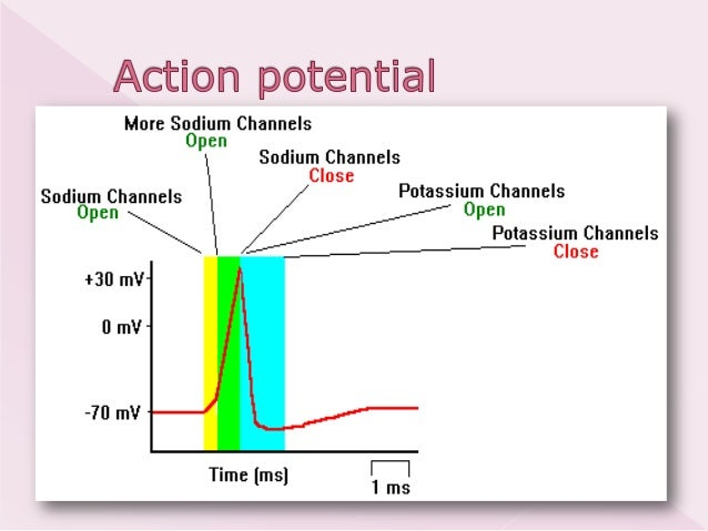 hb105 introductory physiology the action An action potential in a cardiac muscle fiber is identical to an action potential in a skeletal muscle fiber a) home anatomy and physiology 1 chapter 21 action potentials in cardiac muscle cells.