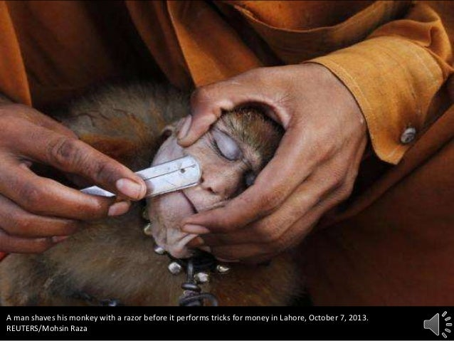 A man shaves his monkey with a razor before it performs tricks for money in Lahore, October 7, 2013. REUTERS/Mohsin Raza