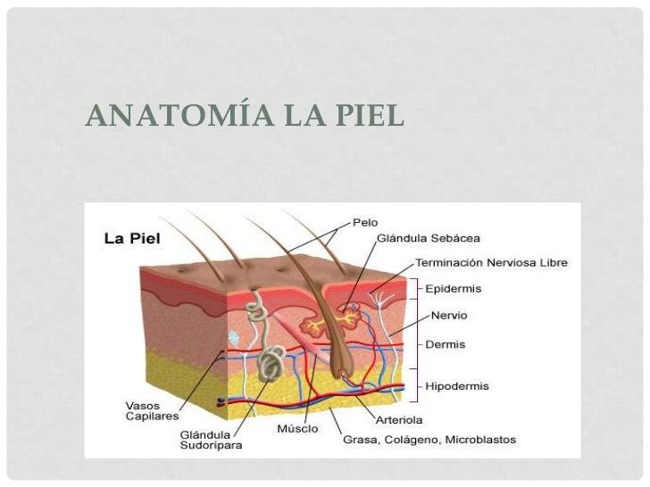 la piel anatomia: