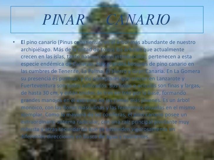 PINAR  CANARIO <ul><li>E l pino canario (Pinus canariensis) es el árbol más abundante de nuestro archipiélago. Más de la m...
