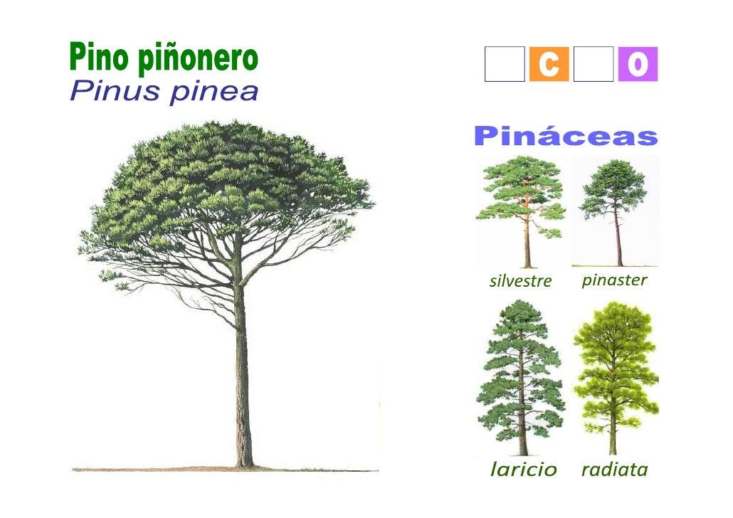 Pino pi onero for Tipos de arboles y caracteristicas