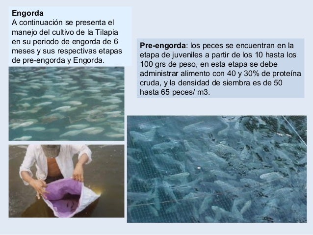 Introduccion al cultivo de tilapia for Tabla de alimentacion para peces cachama