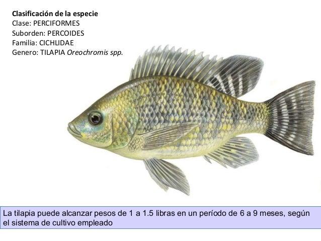 Introduccion al cultivo de tilapia for Mojarra tilapia criadero
