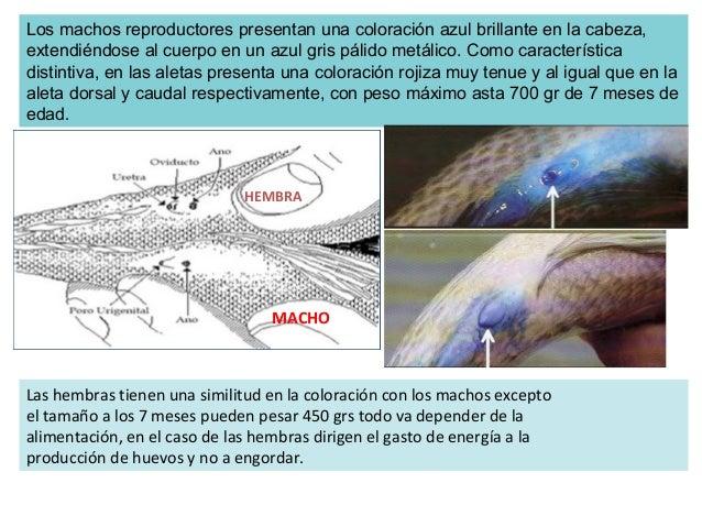 Introduccion al cultivo de tilapia for Proyecto de piscicultura mojarra roja