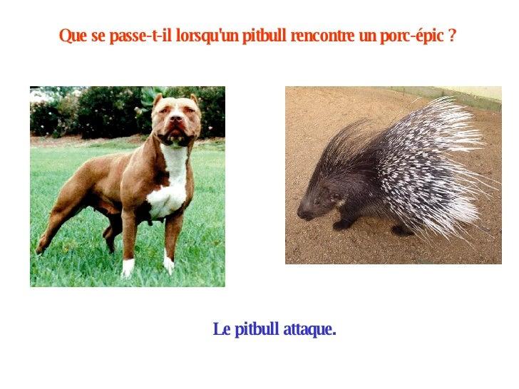 Que se passe-t-il lorsqu'un pitbull rencontre un porc-épic ?   Le pitbull attaque.