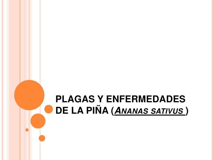 PLAGAS Y ENFERMEDADES DE LA PIÑA (Ananas sativus)<br />
