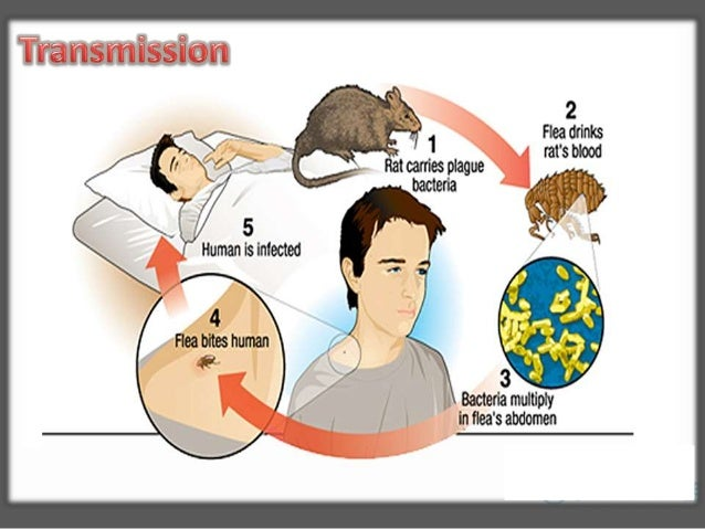 Infected flea bites