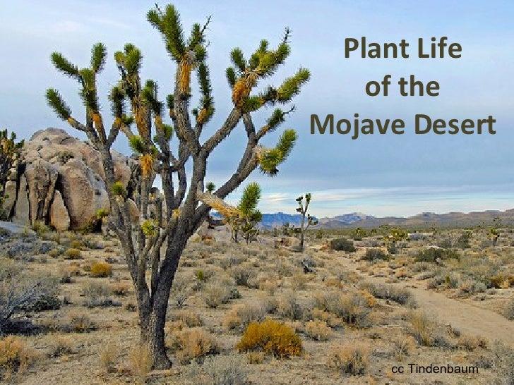 Plant Life of the Mojave Desert cc Tindenbaum