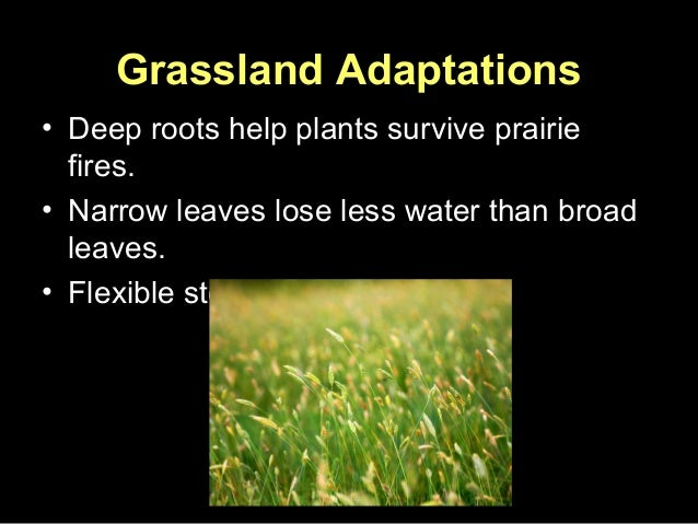 adaptive features of animals in grasslands Biotic features plants:  other animals of temperate grassland are: black-tailed prairie dog, black-footed ferret, antelope, birds etc  adaptations plants: 1 structural adaptation.