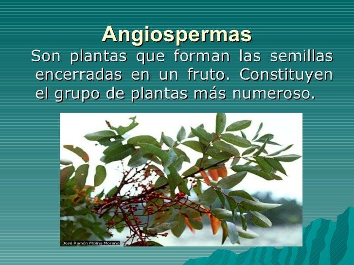 Plantas gimnospermas y angiospermas for Que son plantas ornamentales ejemplos