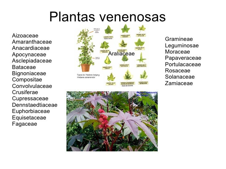 http://image.slidesharecdn.com/plantas-venenosas-1209699071693710-8/95/plantas-venenosas-1-728.jpg?cb=1209691985