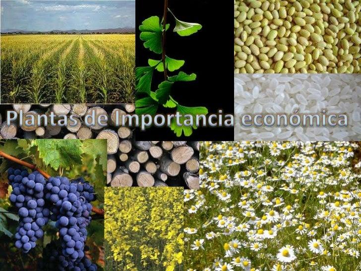 Plantas importantes para la industria y         productos vegetalesDesde que el hombre descubrió que podía sembrar y hacer...