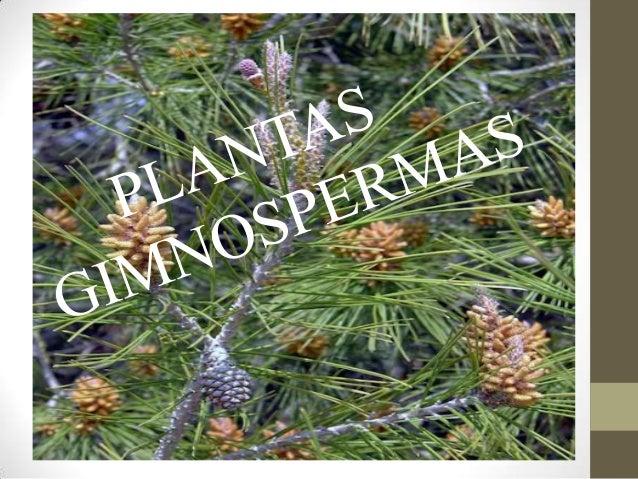 gimnospermas las gimnospermas constituyen un grupo de plantas que se