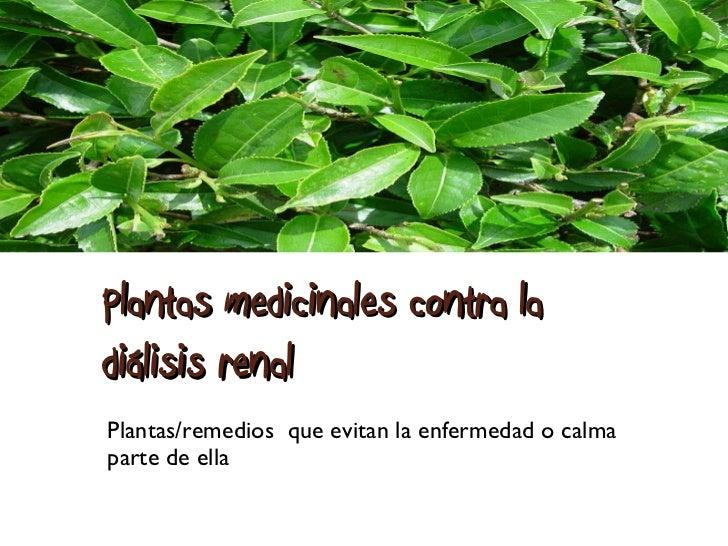 Plantas medicinales contra la diálisis renal  Plantas/remedios  que evitan la enfermedad o calma parte de ella