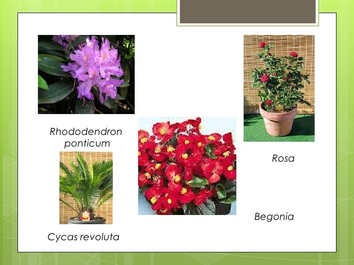 Plantas ornamentales monica for Que son plantas ornamentales