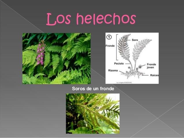 Nombres plantas sin flores pictures to pin on pinterest - Plantas de interior nombres ...