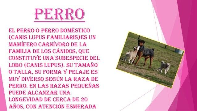 Perro El perro o perro doméstico (Canis lupus familiaris)es un mamífero carnívoro de la familia de los cánidos, que consti...