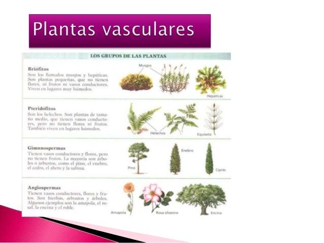Plantas vasculares (1)