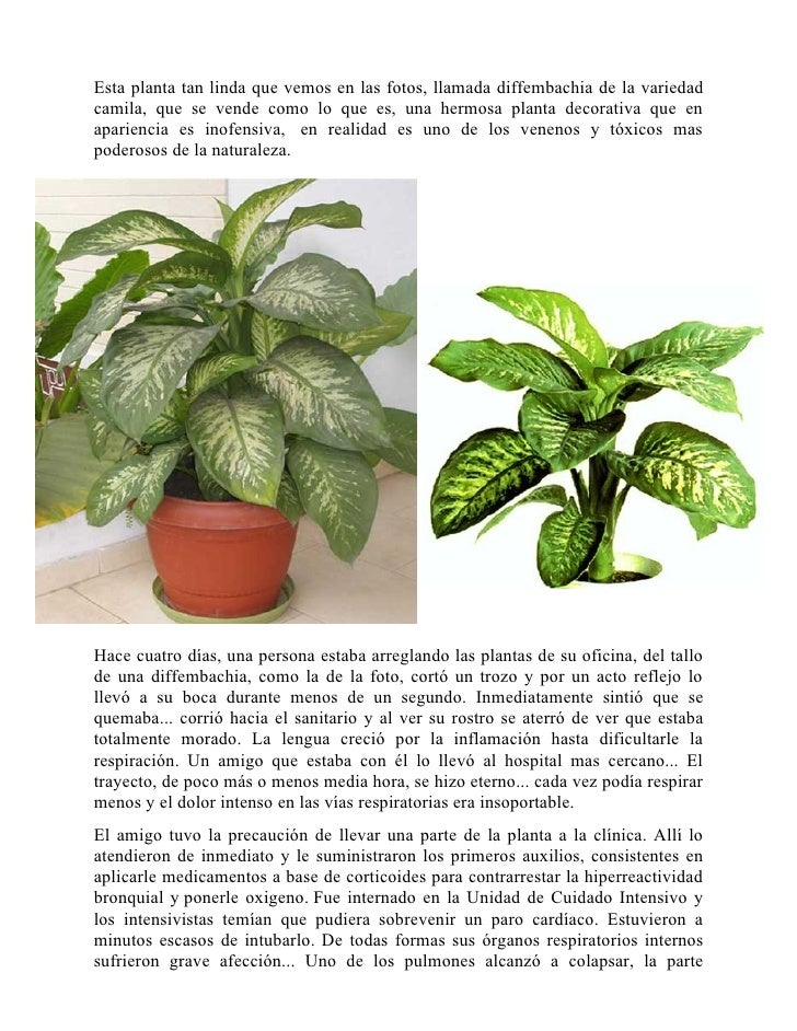 Planta venenosa for Planta venenosa decorativa