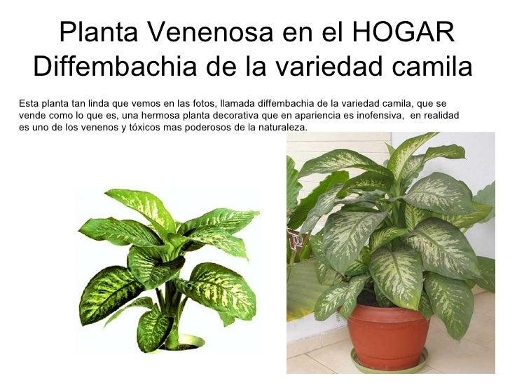 Planta Venenosa en el HOGAR Diffembachia de la variedad camila   Esta planta tan linda que vemos en las fotos, llamada dif...