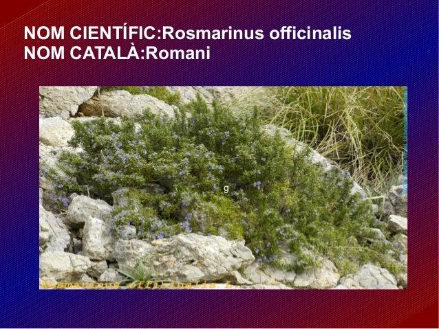NOM CIENTÍFIC:Rosmarinus officinalis NOM CATALÀ:Romani g