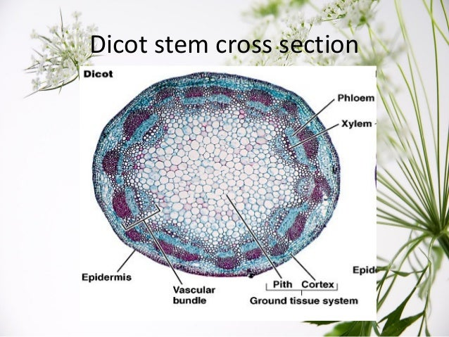 Plant Stem Cross Section
