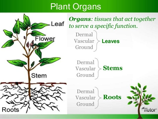 Plant organ diagram
