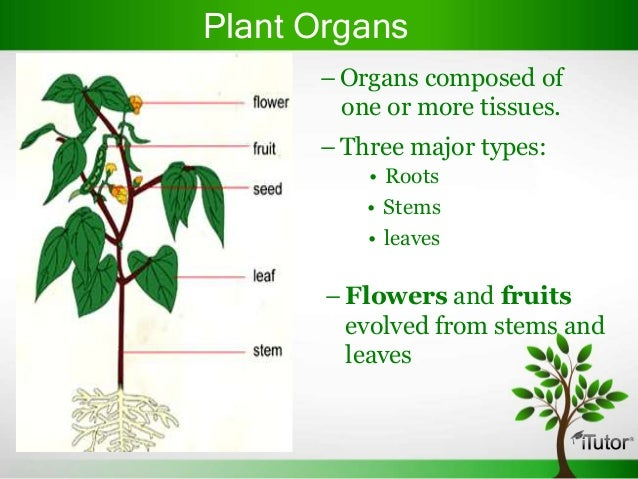 function of plant organs Organs of plants can be divided into vegetative and reproductive vegetative plant organs are roots, stems, and leaves the reproductive organs are variable in flowering plants, they are represented by the flower, seed and fruit in conifers, the organ that bears the reproductive structures is called a cone.