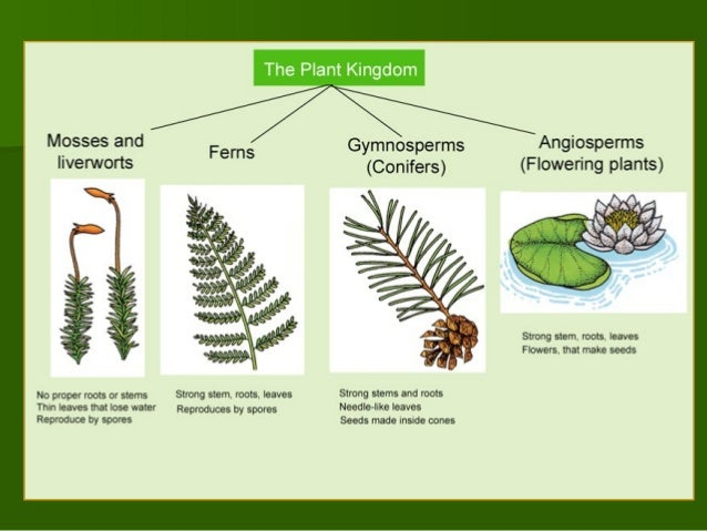 a look at the diversity and two major groups of plants Angiosperms are the most successful plants and support human livelihood and  ecosystems  most diverse and species-rich groups on earth and are the major   the other two groups, chloranthaceae and ceratophyllaceae, are  sister  groups of eudicots and monocots, the two largest angiosperm groups.