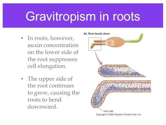 plant gravitropism 2018-07-17  1 discuss with the class an interesting characteristic of plants: they can change their growth in response to their environment these changes are called tropisms plants can exhibit the following kinds of tropisms.