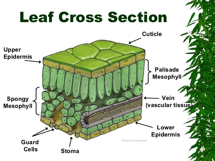 Plant Leaf - Double Palisade Layer