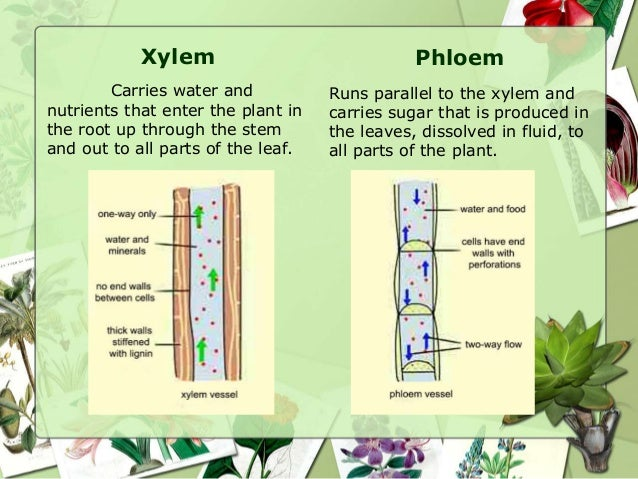 two types of vascular tissue in plants What are some examples of vascular plants without seeds what are some examples of vascular and nonvascular plants what is a vascular plant how are they composed.