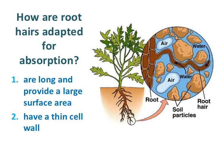 water absorption in plants I - water uptake by plants - j e fernández water absorption through roots 31 structures for water uptake 32 water flow within the root 321 radial flow.