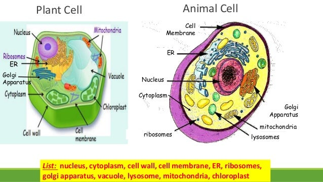 a discussion of cells in plants and animals Mitosis is a process of cell division that occurs in both plants and animals mitosis results in two daughter cells that are identical to the parent cell.