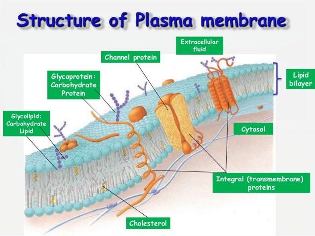 Fluid mosaic model of plasma membrane