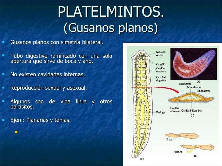 PLATELMINTOS . (Gusanos planos) <ul><li>Gusanos planos con simetría bilateral. </li></ul><ul><li>Tubo digestivo ramificado...