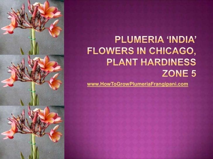 Plumeria 'India' Flowers In Chicago, Plant Hardiness Zone 5