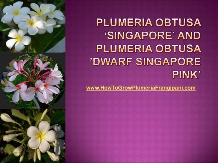 Plumeria obtusa 'Singapore' and Plumeria obtusa 'Dwarf Singapore Pink'