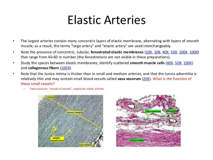 Related Keywords Amp Suggestions For Elastic Arteries