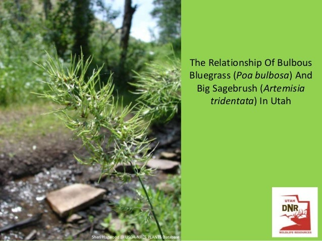The Relationship Of Bulbous Bluegrass (Poa bulbosa) And Big Sagebrush (Artemisia tridentata) In Utah  Sheri Hagwood @ USDA...