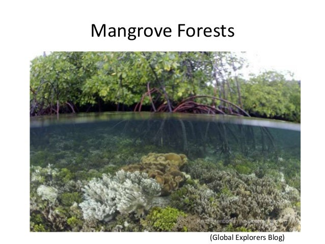 Mangrove Forests(Global Explorers Blog)