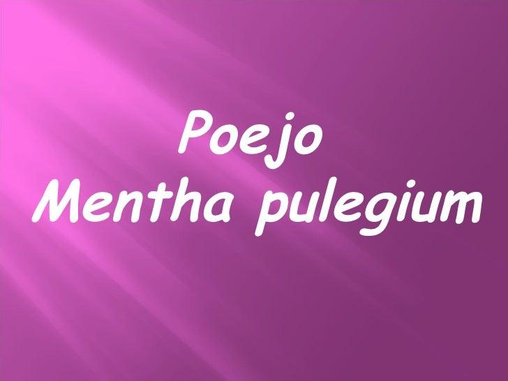Poejo Mentha pulegium
