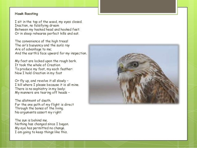 "hawk roosting by ted hughes The poem ""hawk roosting"" written by ted hughes discusses the power and the superiority of a hawk from the animal's own perspective his writing in 1 st person."