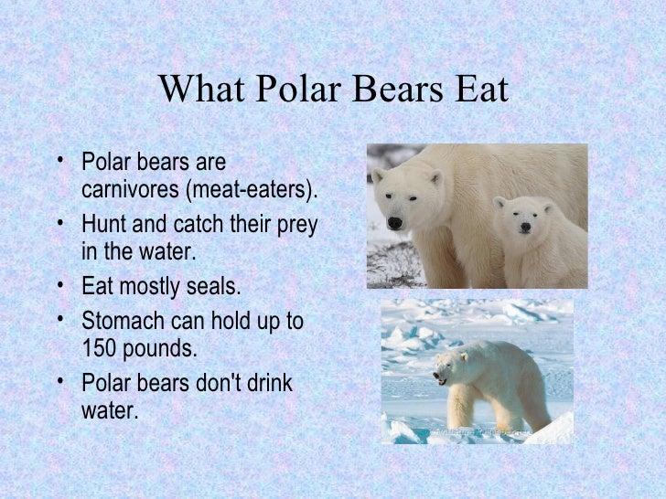 What Polar Bears Eat Ul Li Polar Bears Are Carnivores